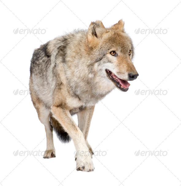 loups roux  européen - Stock Photo - Images