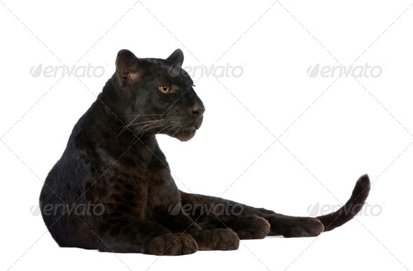 Black Leopard (6 years) - Stock Photo - Images