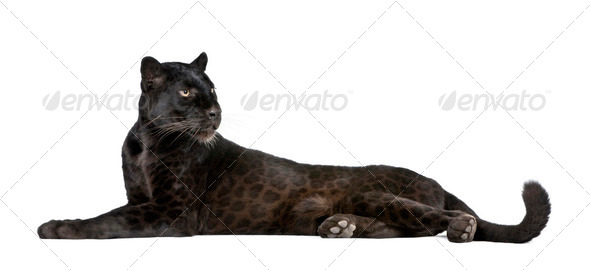Black Leopard, 6 years old, in front of a white background - Stock Photo - Images