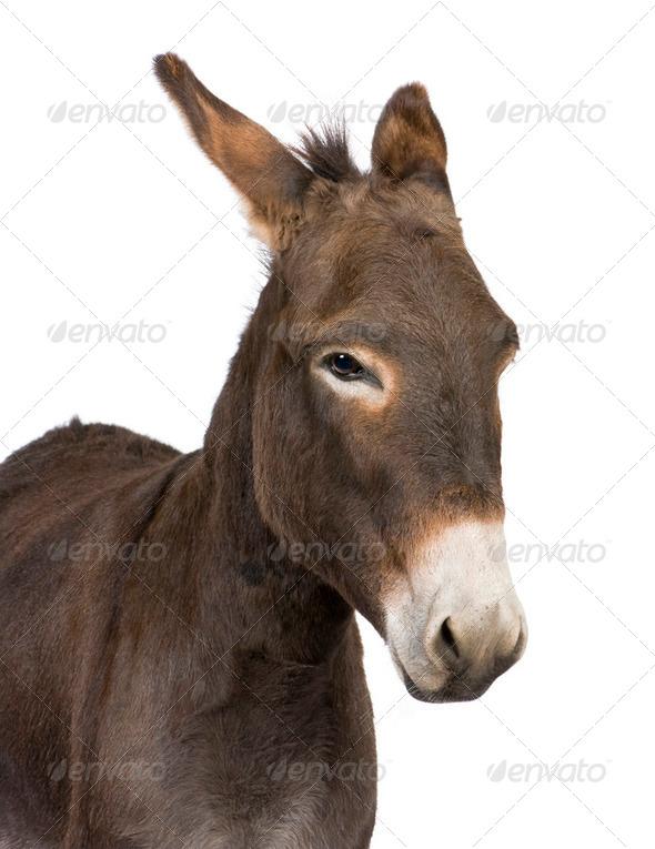 donkey ( 4 years) - Stock Photo - Images