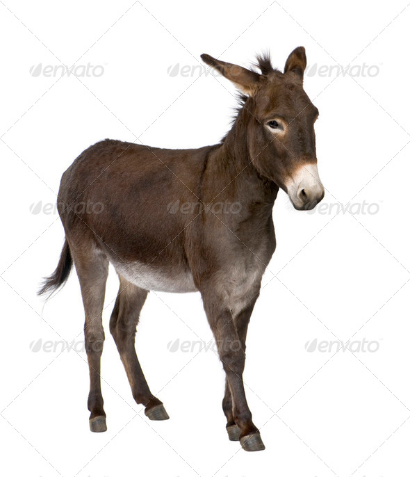 donkey ( 4 years) - Stock Photo - Images