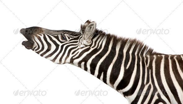 Zebra (4 years) - Stock Photo - Images