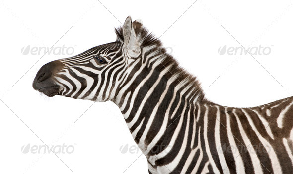 Zebra (4 years) - Stock Photo - Images