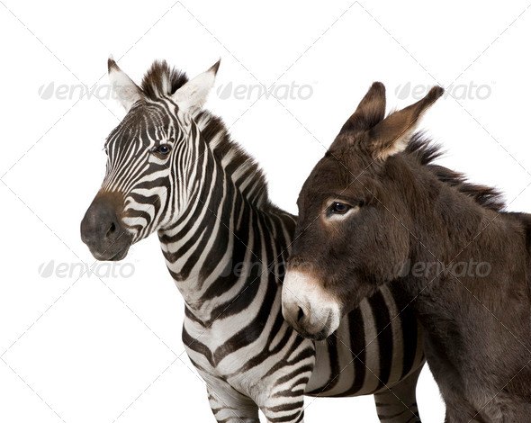 a Zebra (4 years) and a donkey (4 years) - Stock Photo - Images