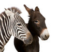 Zebra and Donkey