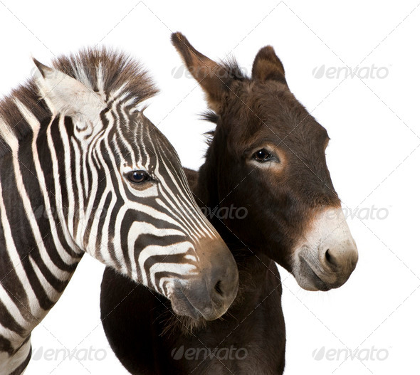 Zebra and Donkey - Stock Photo - Images