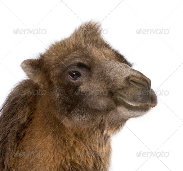 Close-up on a camel - Stock Photo - Images