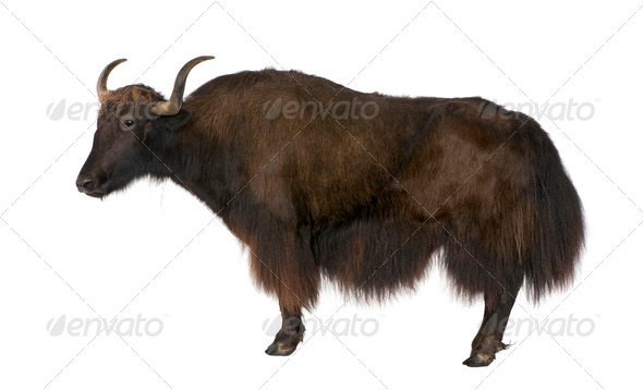 Yak - Stock Photo - Images