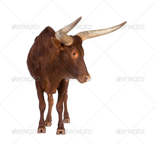 Ankole-Watusi - Stock Photo - Images