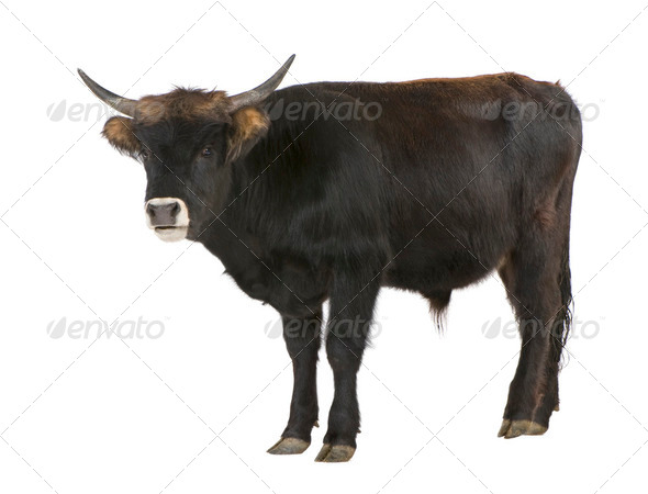 Heck cattle - auroch - Stock Photo - Images