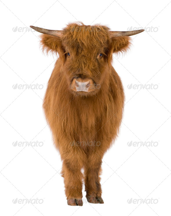 Young Highland Cow - Stock Photo - Images