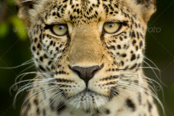 Leopard in the serengeti national reserve - Stock Photo - Images