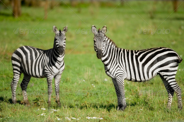 two zebras in the Serengeti - Stock Photo - Images