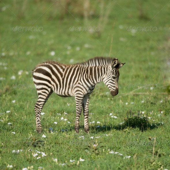 young zebra in the Serengeti - Stock Photo - Images
