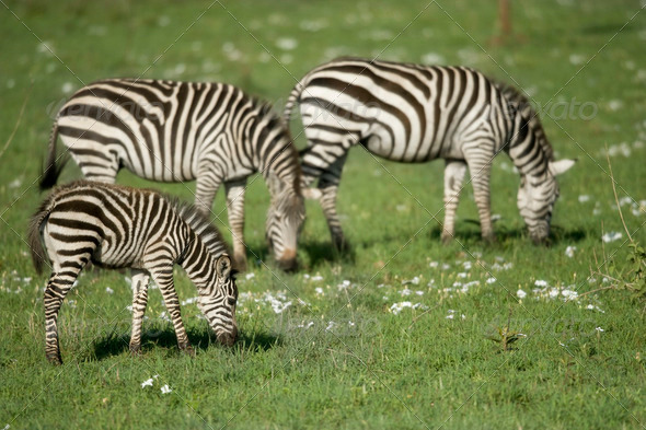 zebras in the Serengeti - Stock Photo - Images