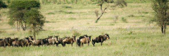 herd of wildebeest - Stock Photo - Images