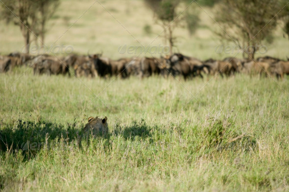 a lion is hidding for a herd of wildebeest - Stock Photo - Images
