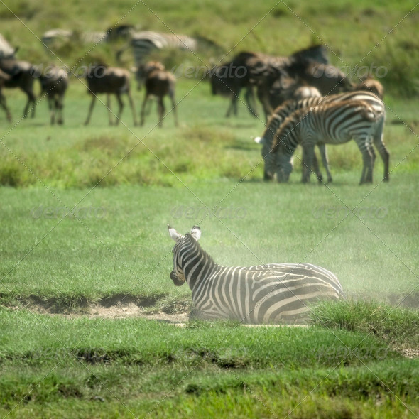 herd of zebra in the Serengeti - Stock Photo - Images