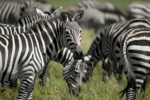 herd of zebra in the Serengeti - Stock Photo - Images