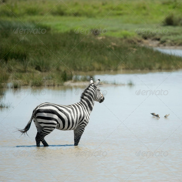 zebra in water - Stock Photo - Images
