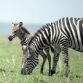 young zebra and his mother at the Serengeti