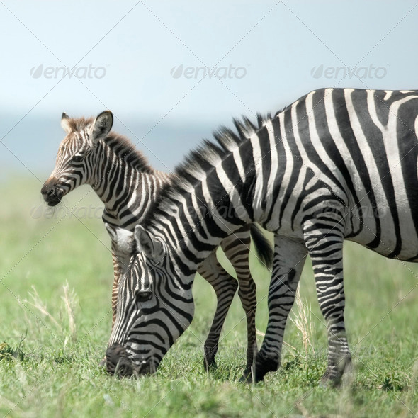 young zebra and his mother at the Serengeti - Stock Photo - Images