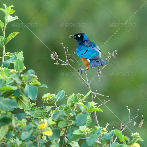 Superb starling - Lamprotornis superbus in the Serengeti - Stock Photo - Images