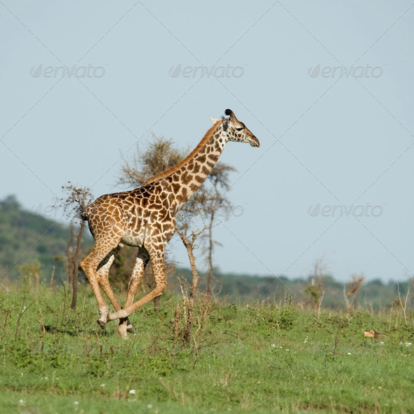 Girafe in the Serengeti - Stock Photo - Images