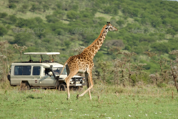 Girafe in the Serengeti passing in front of tourist - Stock Photo - Images