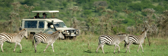 zebras passing in front of 4X4 - Stock Photo - Images