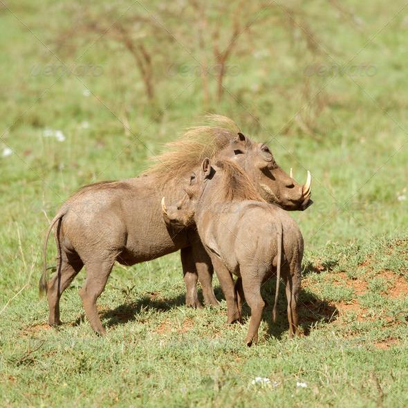 warthog - Stock Photo - Images