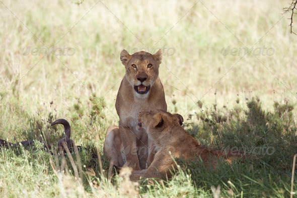 Couple of lioness - Stock Photo - Images