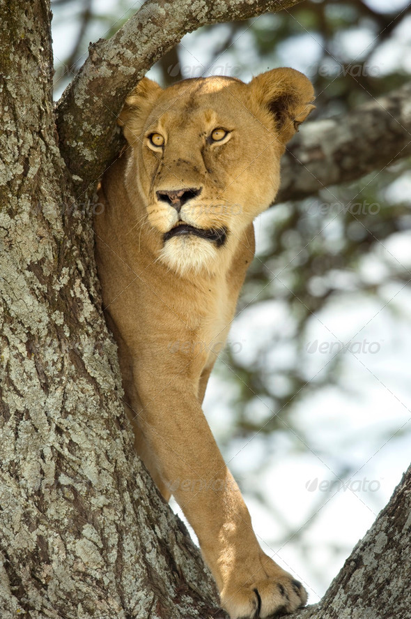 lioness in the tree - Stock Photo - Images