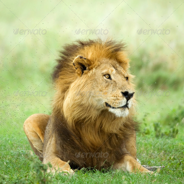 Lion lying down in the grass in the Serengeti reserve - Stock Photo - Images