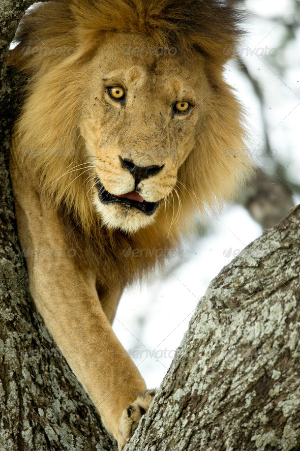 lion on a tree - Stock Photo - Images