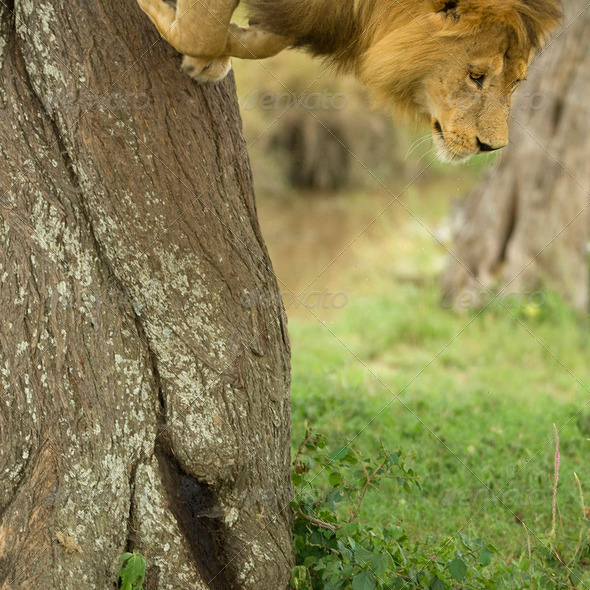 Lion going down a tree - Stock Photo - Images