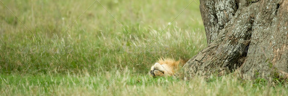 Lion resting under a tree - Stock Photo - Images