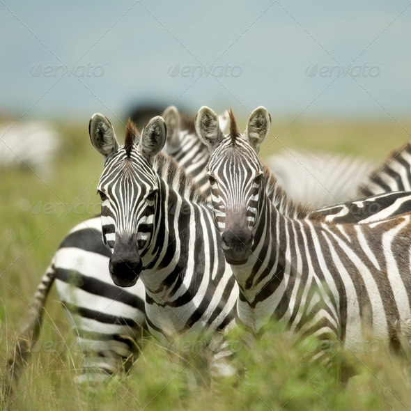 Zebras looking at the camera in the serengeti - Stock Photo - Images