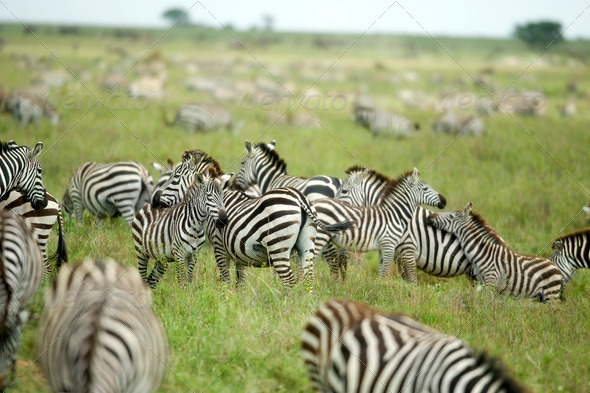 herd of zebras in the serengeti plain - Stock Photo - Images