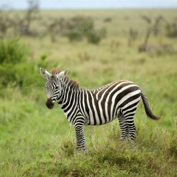 young zebra in the serengeti plain - Stock Photo - Images