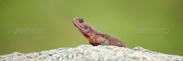 Flat-Headed Rock Agama (Agama Mwanzae) in the Serengeti National Park, Tanzania - Stock Photo - Images