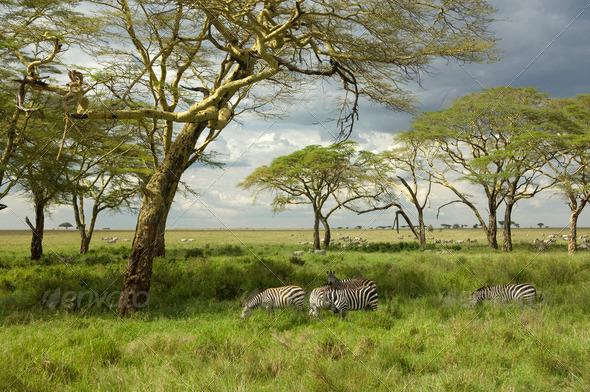 Herd of zebra in the serengeti plain - Stock Photo - Images