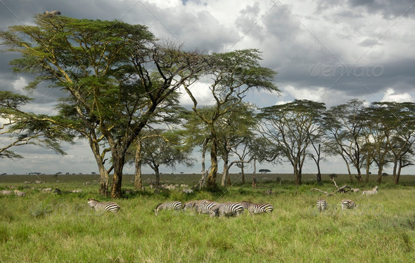 Herd of zebra in the serengeti plain - Stock Photo - Images