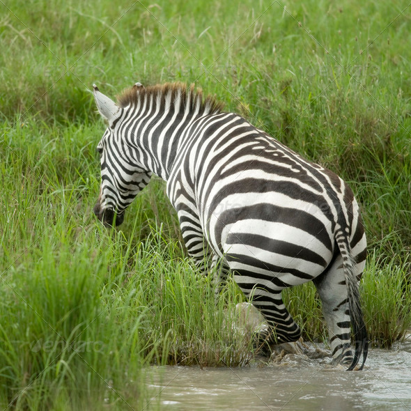 Zebra in the water - Stock Photo - Images