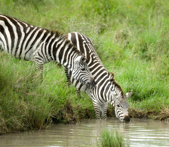 zebra drinking - Stock Photo - Images