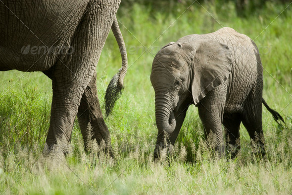 baby elephant and his mother - Stock Photo - Images