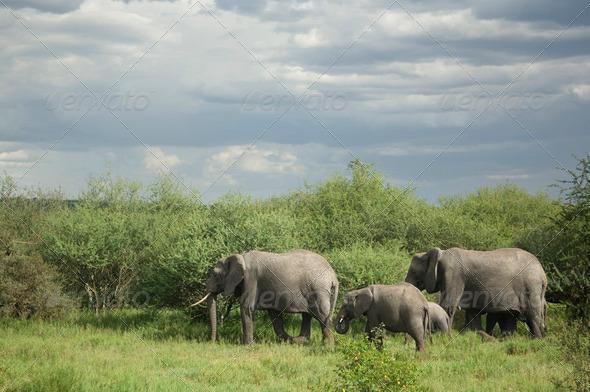 Herd of elephant in the serengeti plain - Stock Photo - Images