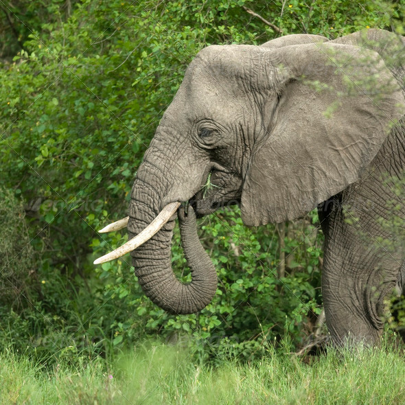 side view on a elephant's head - Stock Photo - Images