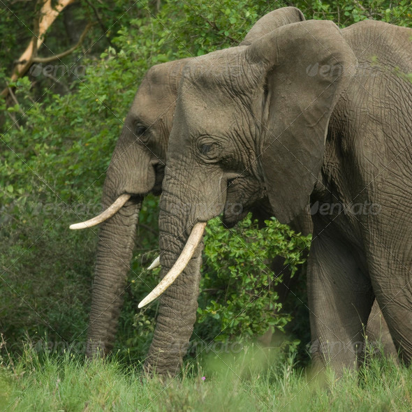 side view on two elephant's head - Stock Photo - Images