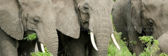 elephant's head in the wild - Stock Photo - Images